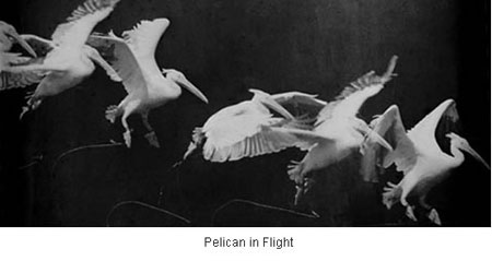 pelican-flight.jpg