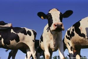 three_cows