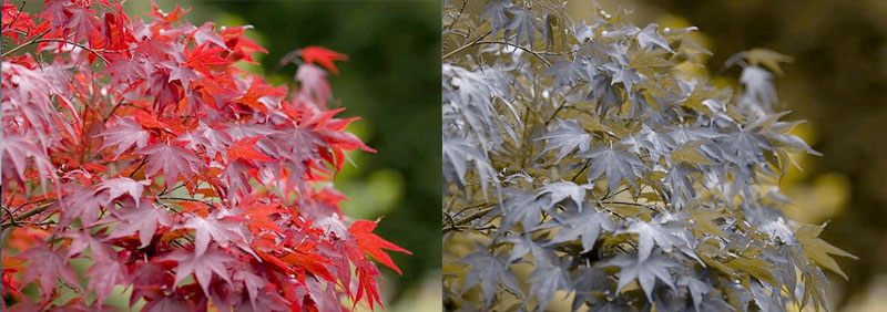 jap_maple_pair
